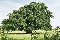 English Oak - geograph.org.uk - 1194077.jpg