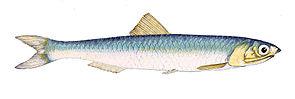Engraulis encrasicolus Gervais.jpg