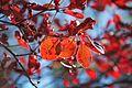 Enkianthus campanulatus - Flickr - odako1 (2).jpg