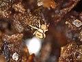 Entomobrya corticalis (35579674643).jpg