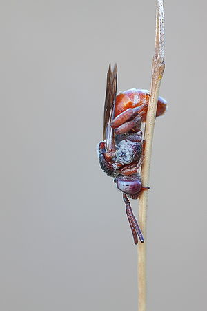 Epeoloides - Epeoloides coecutiens ♀