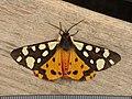 Epicallia villica (8722277569).jpg