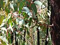 Epicormic Shoots from an Epicormic Bud on Eucalyptus following Bushfire 1, near Anglers Rest, Vic, Aust, jjron 27.3.2005.jpg