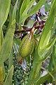 Epidendrum macrostachyum (Orchidaceae) – fruit (45321828974).jpg