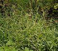 Epilobium montanum 06 ies.jpg