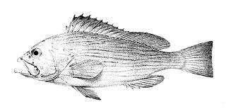 <i>Epinephelus undulosus</i> Species of fish