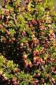 Erica blandfordia 15659065.jpg