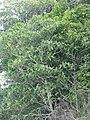 Eriobotrya japonica (Thunb.) Lindl. (AM AK305678-2).jpg