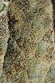 Erysiphe heraclei on Hogweed Heracleum sphondylium (45051825741).jpg