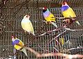 Erythrura gouldiae -four in cage-8a.jpg