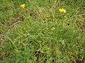 Eschscholzia californica (El Paso) 06.jpg