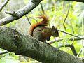 Especie de ardilla (Sciurus), Henri Pittier, Venezuela 2.jpg
