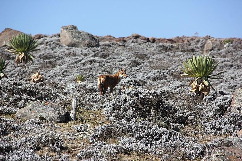 File:Ethiopian Wolf (16310372725).jpg