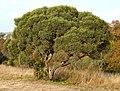 Euclea crispa, habitus, Nkwe.jpg