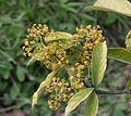 Euonymus myrianthus - Jardin des Plantes.jpg