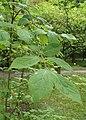 Euonymus sachalinensis kz06.jpg