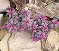 Euphorbia amygdaloides cv Purpurea ies.jpg