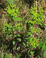 Euphorbia carniolica PID2060-1.jpg
