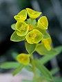 Euphorbia clementei 246.JPG