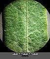 Euphorbia esula (s. str.) sl9.jpg