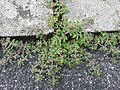 Euphorbia maculata RF.jpg