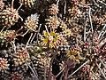 Euphorbia rudis-PICT2476.jpg