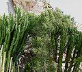 Euphorbia tirucalli1 ies.jpg