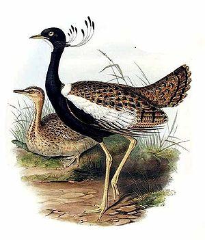 Lesser florican - Image: Eupodotis indica
