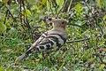 Eurasian hoopoe (Upupa epops) 04.jpg