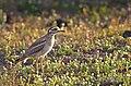 """Eurasian stone-curlew (Burhinus oedicnemus), """"El Jable"""" plains, Lanzarote (33986663445).jpg"""
