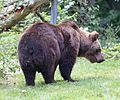 Europaeischer Braunbaer Ursus arctos arctos Tierpark Hellabrunn-3.jpg