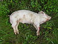 Example of a pig carcass in the fresh stage of decomposition.jpg