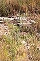 Fœniculum vulgare-Fenouil-20150609.jpg