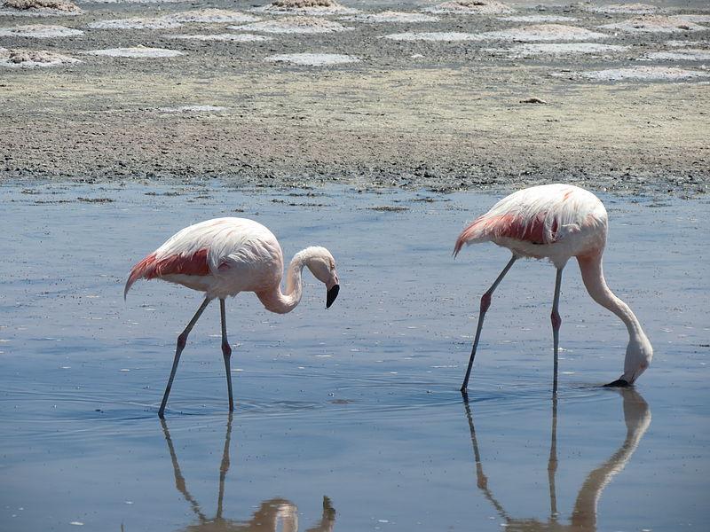 Onde ver flamingos no Deserto do Atacama