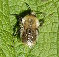 Faded Bombus pascuorum. - Flickr - gailhampshire.jpg