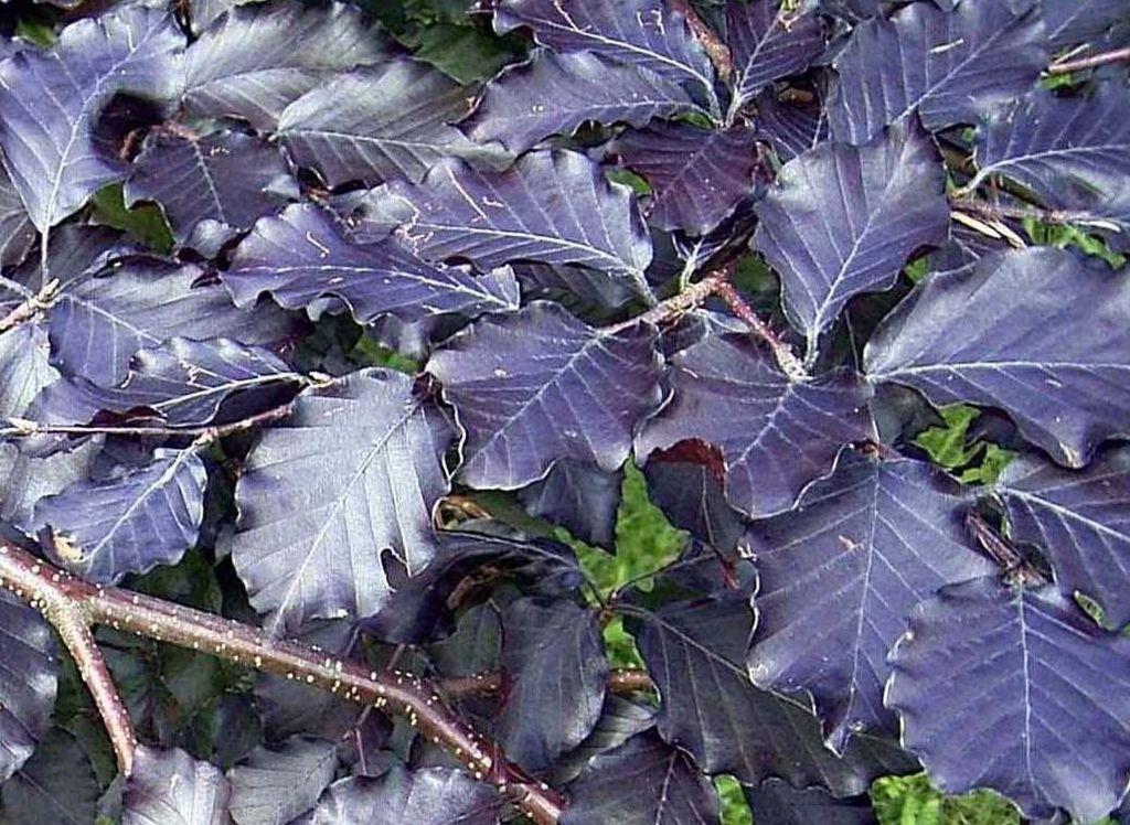 El color de la hoja del haya de cobre es debido a una mutación
