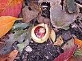 Fallen and opened horse-chestnut.JPG