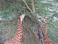 Feeding giraffes in Lake Nakuru National Park.JPG