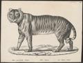 Felis tigris - 1809-1845 - Print - Iconographia Zoologica - Special Collections University of Amsterdam - UBA01 IZ22100095.tif