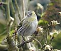 Female Siskin. Carduelis spinus - Flickr - gailhampshire.jpg