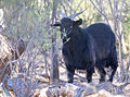 Feral goat (17535983113).jpg