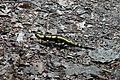 Feuersalamander (Salamandra).jpg