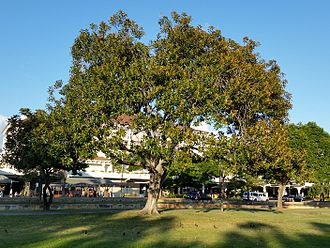Ficus rubiginosa - Image: Ficrub Alamoana (cropped)