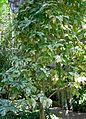 Ficus aspera 1.jpg