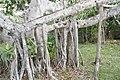 Ficus benghalensis 0zz.jpg