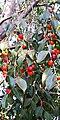 Ficus benjamina - Fruits.jpg