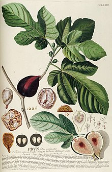 Drawing of the common fig foliage and fruit