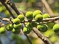 Ficus exasperata fruits at Mayyil 2019 (2).jpg