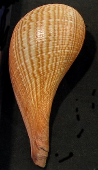 Ficus (gastropod) - Dorsal view of a shell of Ficus gracilis