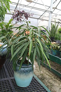 Ficus maclellandii 2zz